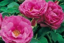 rosor jag har idag