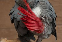 African grey parrots / Intelligent and personable, these birds make great pets.