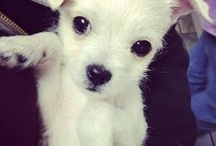 Adoptable Small Breeds / From toy breeds Yorkie, Pomeranian, Cavalier King Charles, etc. on up to Westie, Scottie, Skye Terrier , etc. size. Both from shelters to rescues. Specify which they are and the date you are posting please! Also is it a NO-KILL shelter? Last TWEET your pins! #adoptablesmallbreeddogs
