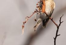 Moineaux, oiseaux