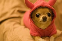 Chihuahuas / My Obsession with Chihuahuas / by Debbie O'Halloran