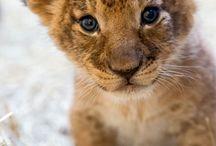lion baby's