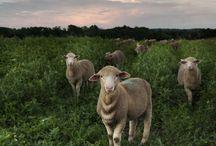 Schafe, Ziegen / sheeps and goats / Alpaca, Lamas.....