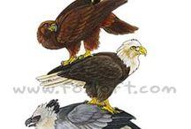 Big bird ( dravce)