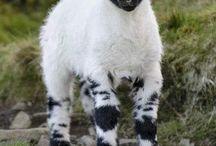 Ζώα-αιγοπρόβατα