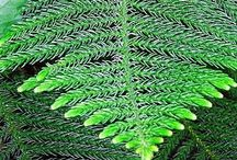 Norfolk Island Pines / Norfolk Island Pines, Araucaria heterophylla, are native of Norfolk Island. The beauty and symmetry of the plant, as well as the soft texture of the foliage will make you want to decorate it, and use it for your living Christmas tree.