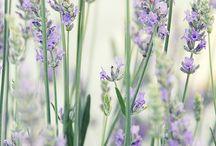 Violet + Lavender