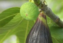 fig grow guide
