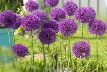 Gardening / Allium