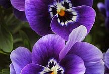 Pansy Party!