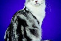 RAGAMUFFIN / by Cat Fanciers Association