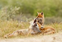 Foxes and volwes / Just.. Like this wild animals...