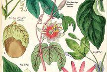 Plansjer / Botanical / Animal