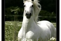 Pura raza espanola - The spanish horse