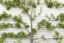 Pleach Me / Shape-shifting for trees: Pleaching, Bonsai, Espalier.