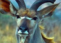 Коза / Культ козла