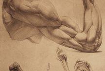 anatomy arms