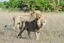 cat caty lion!