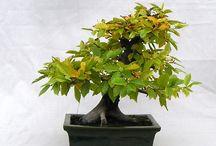 Carpinus betulus bonsai 2013.10.