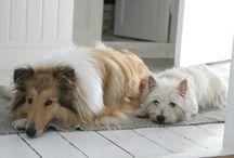 Hundene / Her er billeder af vores hunde. Vi har to westier og en collie.