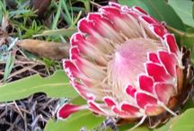 FYNBOS / Cape Floral Kingdom Exp 18-21 August 2016 Bredasdorp
