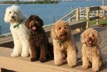 Dogs  my Drew& more / Golden doodles