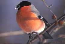 Punatulkku - Bullfinch