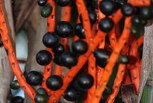 Chamaedoria / Botanical Taxonomy