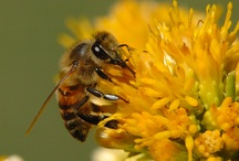 Honey Bees / Where would we be without the honey bee?