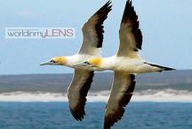 Formation Flight / Malgas birds in perfect flight