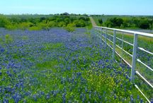 Texas Bluebonnet Pictures To Watch / Bluebonnets, is the state flower of Texas usually referred as Texas Bluebonnet. This big mighty flower is the heart of Texans. Its beauty is beyond any poet's quotes. Normally during the spring season bluebonnets became full grown flowers.