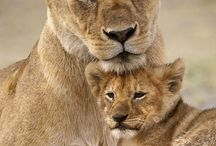 king of the jungle LIONS N LIONESSES / BEAUTY N THE BEAST