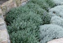 Wind tolerant plants