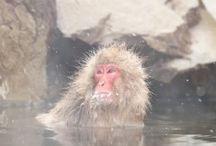 Snow Monkey Park - Jigokudani (Nagano)