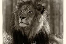 Leijonakuvat