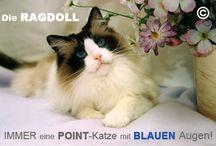 Ragdolls vom Saphir zu Meissen / Wir züchten traditionelle Ragdolls seid 2009