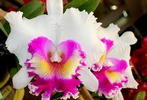 Мое увлечение орхидеями. / Об орхидеях, которые я выращиваю и которые хочу приобрести!