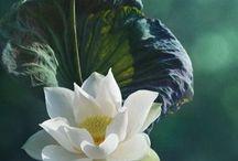 Lotus & Water Lilies