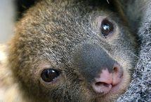 Koalas / by Heather Osness