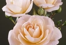 peach-apricot toned flowers