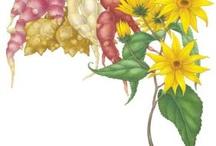 Tips for Growing Jerusalem Artichokes / Board dedicated to the world of growing Jerusalem Artichokes!
