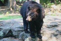 Black Bears / Native to North America, black bears are excellent climbers and very adaptable, even ranging into cities sometimes.