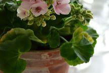 Pelargonit ja muita ihastuttavia kukkia