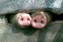 """A88 Rosi Rosa""""s Schweinezucht"""
