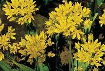 JARDINgm: Allium Moly