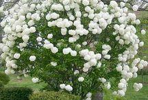 Arbustes décoratifs