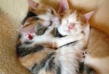 i miei gatti e quelli del web / Entrati di soppiatto nella mia vita seminando peli e palline di gomma, con rumorose scorribanda sono diventati amici impagabili per la mia vita silezionsa.