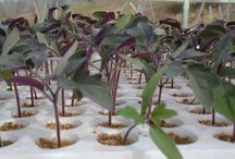 Hydroponic / Hydroponic cultivation from our sterile and sealed greenhouses