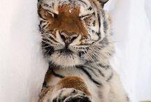 Tiger...Tygrys