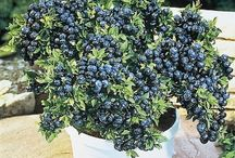 About berries / How to grow